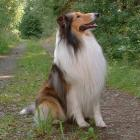Collie (Langhaar)