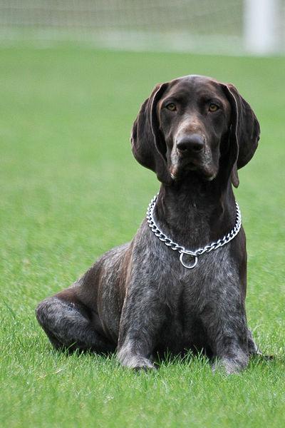 Dooggs Hund Deutsch Kurzhaar