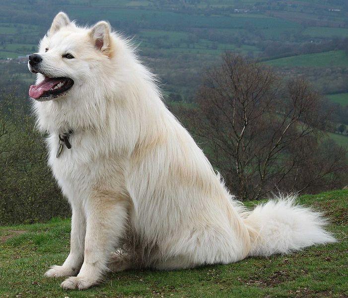 American Eskimo Dog For Sale In Colorado