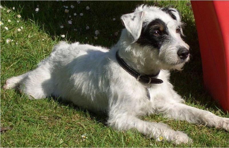 dooggs hund parson russell terrier. Black Bedroom Furniture Sets. Home Design Ideas